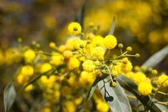 Bola amarela de flores da mimosa Dia da mulher s, o 8 de março Imagem de Stock Royalty Free