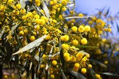 Bola amarela de flores da mimosa Dia da mulher s, o 8 de março Foto de Stock