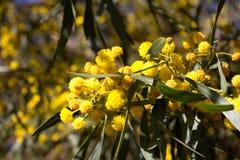 Bola amarela de flores da mimosa Dia da mulher s, o 8 de março Imagens de Stock Royalty Free