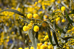 Bola amarela de flores da mimosa Dia da mulher s, o 8 de março Fotos de Stock