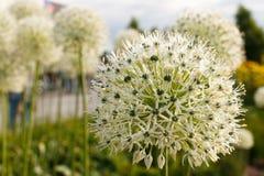 bola Blanco-verde de una flor decorativa Fotografía de archivo