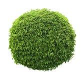 A bola bonito deu forma ao arbusto isolado no fundo branco Fotografia de Stock