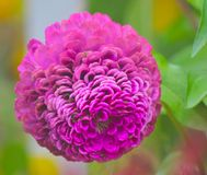 Bola cor-de-rosa da flor Imagens de Stock Royalty Free
