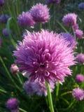 Bola cor-de-rosa do sopro Imagem de Stock Royalty Free