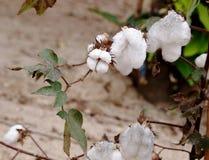 Bola de algodão Imagem de Stock