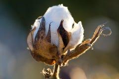 Bola de algodón Foto de archivo