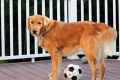 Bola de futebol do cão Foto de Stock Royalty Free
