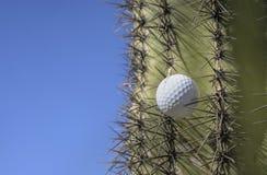 A bola de golfe colou em uma árvore do cacto após um balanço selvagem Imagem de Stock