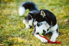 Bola de Husky Puppy Plays With Tennis do cão fotos de stock royalty free