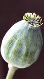 Bola de la semilla de amapola Fotos de archivo libres de regalías