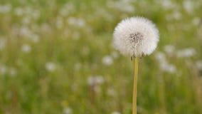Bola de la semilla del diente de león que se mueve lentamente en el viento almacen de video