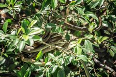 Bola de la serpiente en un árbol foto de archivo libre de regalías