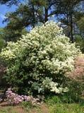 Bola de neve e azáleas em jardins de Callaway foto de stock royalty free