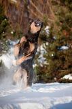 Bola de nieve de cogida del perro Imagenes de archivo