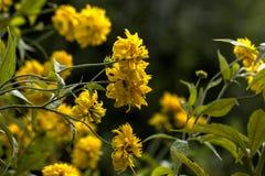 Bola de oro Laciniata del Rudbeckia Flor Foto de archivo