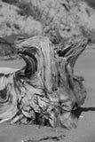 Bola de raiz da madeira lançada à costa Imagem de Stock