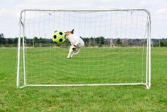 Bola de salto y de cogida del perro divertido del fútbol en la meta Fotografía de archivo libre de regalías