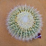 Bola del cactus Foto de archivo