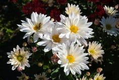 Bola del crisantemo Fotos de archivo libres de regalías