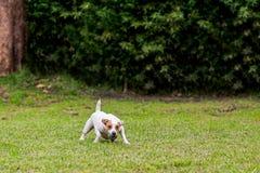 Bola del favorito de Russell Terrier Dog With His del párroco fotografía de archivo libre de regalías