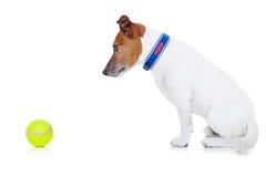 Bola del juego del perro Fotografía de archivo