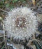 Bola del soplo del diente de león Foto de archivo libre de regalías