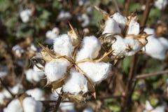 Bola do algodão em plantas Fotografia de Stock Royalty Free