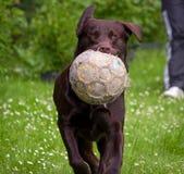 Bola e cão de futebol fotografia de stock royalty free