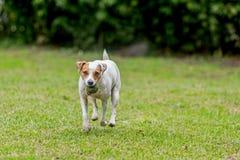 Bola feliz de Jack Russell Terrier With His Favorite fotos de archivo libres de regalías
