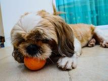 Bola linda del juego del perro imagen de archivo