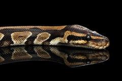 Bola o serpiente real del pitón en fondo negro aislado Imagen de archivo