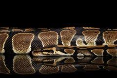 Bola o serpiente real del pitón en fondo negro aislado Imagen de archivo libre de regalías
