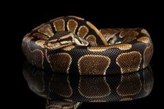 Bola o serpiente real del pitón en fondo negro aislado Fotos de archivo libres de regalías