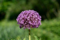Bola púrpura de la flor de una planta de cebolla gigante de Giganteum del allium foto de archivo libre de regalías