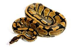 Bola Python Fotos de archivo libres de regalías