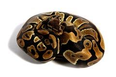 Bola Python Foto de archivo