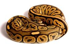 Bola Python Imagen de archivo libre de regalías