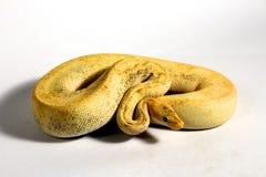 Bola Python Fotografía de archivo libre de regalías