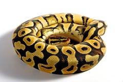 Bola Python Imagenes de archivo