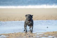 Bola que espera del perro negro de Labrador para que se lanzará Fotos de archivo