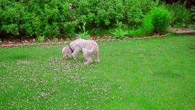 Bola que lanza del dueño del perro Bola de cogida del perro en hierba Pelota de tenis del juego del perro almacen de metraje de vídeo