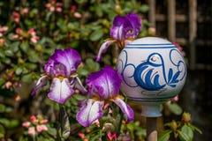 Bola roxa da planta e da porcelana da íris imagens de stock royalty free