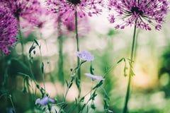 Bola roxa do dente-de-leão da cor e flores azuis minúsculas imagens de stock royalty free