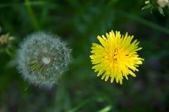 Bola y flor del soplo del ` s del diente de león Imagenes de archivo