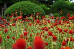 Bolamarant, Gomphrena-haageana 'Strawberry Fields Royalty-vrije Stock Afbeeldingen