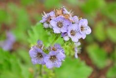 Bolander phacelia (Phacelia bolanderi) zdjęcie royalty free