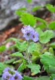 Bolander phacelia (Phacelia bolanderi) zdjęcie stock