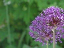 Bolas da flor Fotos de Stock
