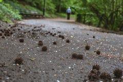 Bolas da semente da árvore de goma doce imagens de stock royalty free