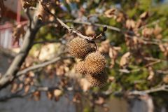 Bolas da semente do platanus da árvore plana imagem de stock royalty free